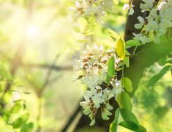 beautiful flowers white acacia, closeup, spring natural background